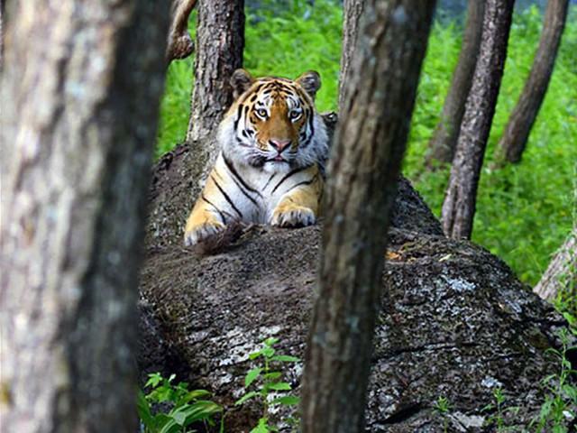 След тигра [16+]